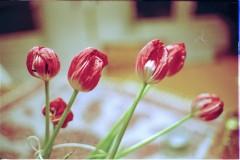 Tulips. Aperture priority.